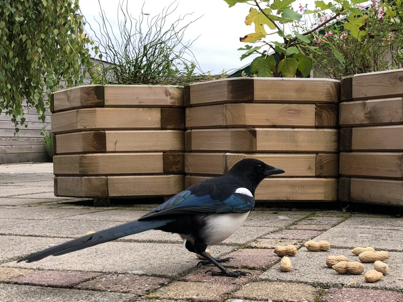 Magpie standing over a handful of shelled peanuts