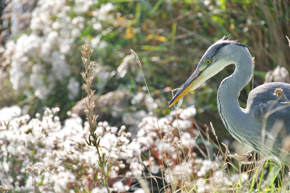 Close-up of a heron watching the water near the Hempont