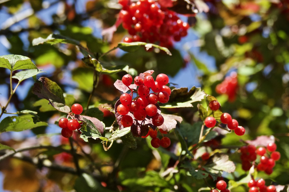 Bright red berries hanging on a tree, with leaves blurred in background