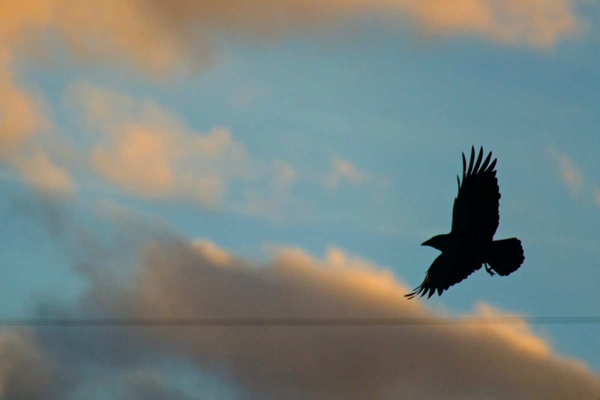 Crow silhouetted against the evening sky