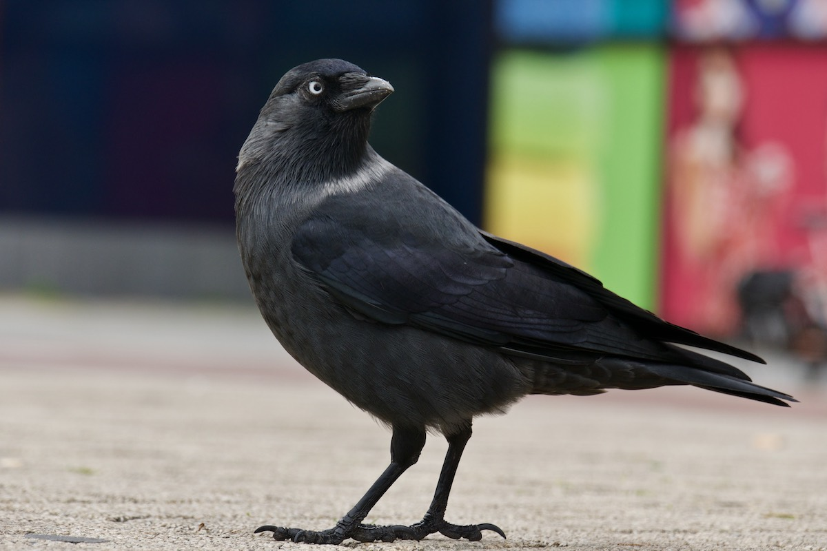 Photo of a jackdaw looking back