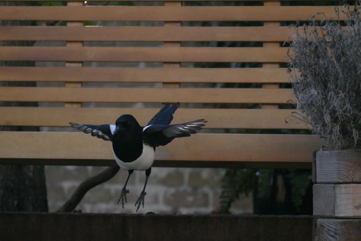 Magpie jumping down from a bench