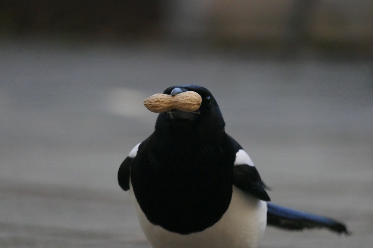 Magpie holding a peanut sideways in its beak, making it look like it has a moustache
