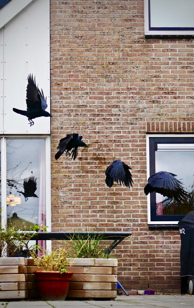 Composite of four consecutive frames of a crow landing