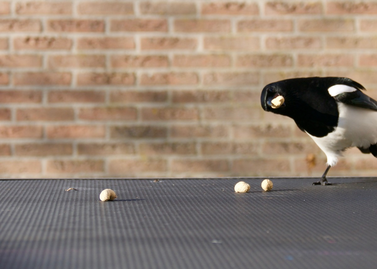 Magpie photobombing a perfectly restful scene of peanuts on a table